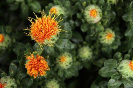 A Safflower plant