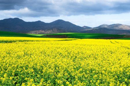 Canola Plant Fields